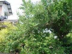 収穫前の梅の木